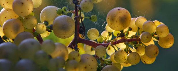 Harvest Report: Guinaudeau's 2014 update